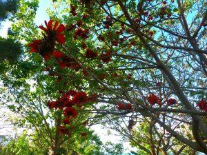 Eritrina - nel boschetto